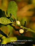 USDA-Mistletoe-berries-220x281