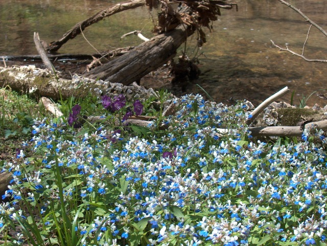 Blue-eyed Mary - one of the few colonies in Tennessee - L.Robertson