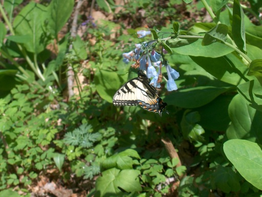 Eastern Tiger Swallowtail on Virginia Bluebell in Taylor Hollow - L.Robertson