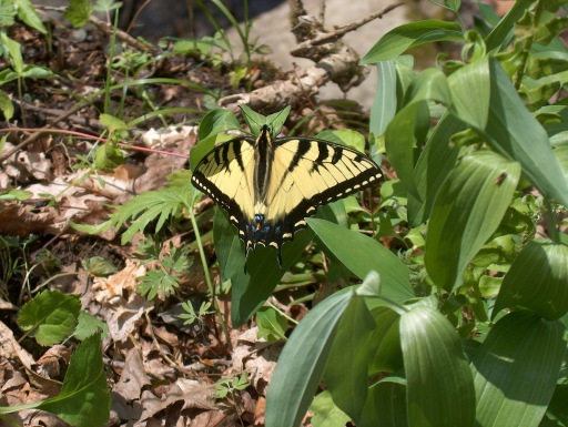 Eastern Tiger Swallowtail sunning at Taylor's Hollow - L.Robertson