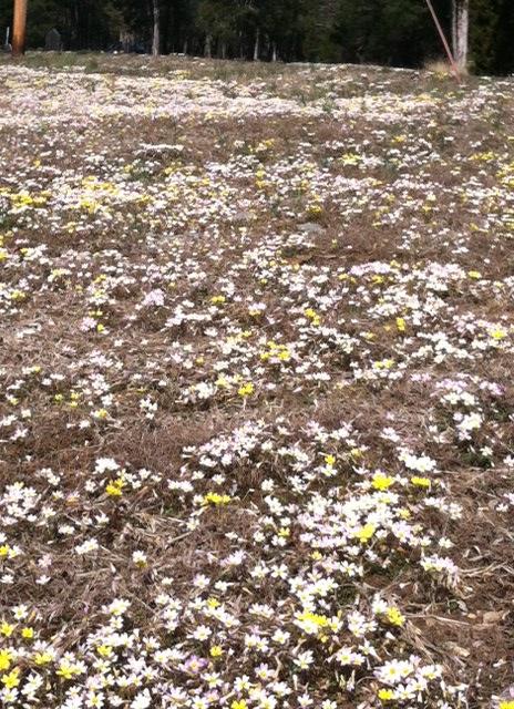 Cedar Glade Cress blooms in a field - 20 March 2013