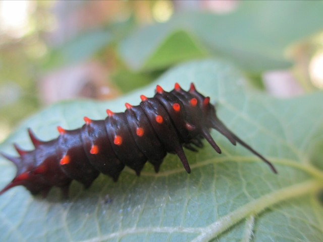 Late season Pipevine Swallowtail caterpillar (seen Oct. 8) will form a chrysalis and overwinter in the Cedars of Lebanon butterfly garden. - L. Robinson, October 2013