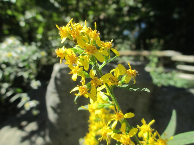 Goldenrod, a fall blooming plant favored by bees and butterflies. - L. Robinson, October 2013