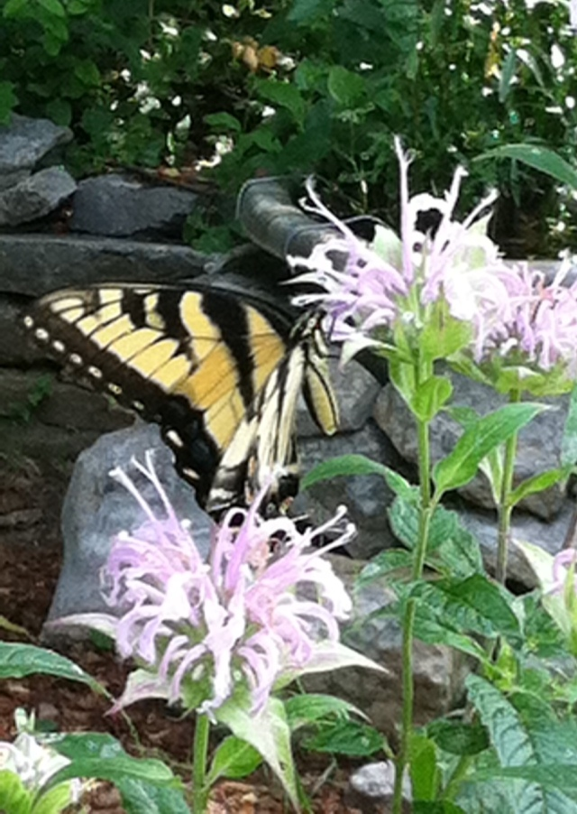 Bee Balm is an excellent nectar plant for Tiger Swallowtails - L. Robinson, July 2013