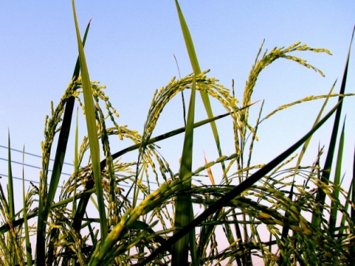 Weedy rice can pick up transgenes from genetically modified crop rice through cross-pollination. - Xiao Yang