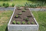 Spring 2014 Raised Beds - cilantro, garlic, jalapeno pepper, tomatoes - 07 May 201